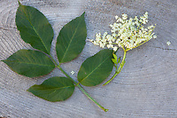 Schwarzer Holunder, Sambucus nigra, Blatt, Blätter, Blüte, Elder, Common Elder, Elderberry, leaf, leaves, Sureau commun, Sureau noir