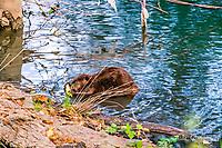 2017-08-05_Urban Wildlife_Beaver