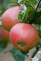 Apple 'Malling Kent', early Septemer. Also known as simply Apple 'Kent'. Bred in 1949 by H. M. Tydeman at the East Malling Research Station in Kent.