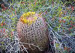 Anza-Borrego Desert State Park, CA: Blossoming California barrel cactus (Ferocactus cylindraceus) and chuparosa (Beloperone californica)