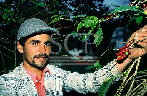 Espirito Santo, Brazil. Worker picking coffee (coffea arabica).