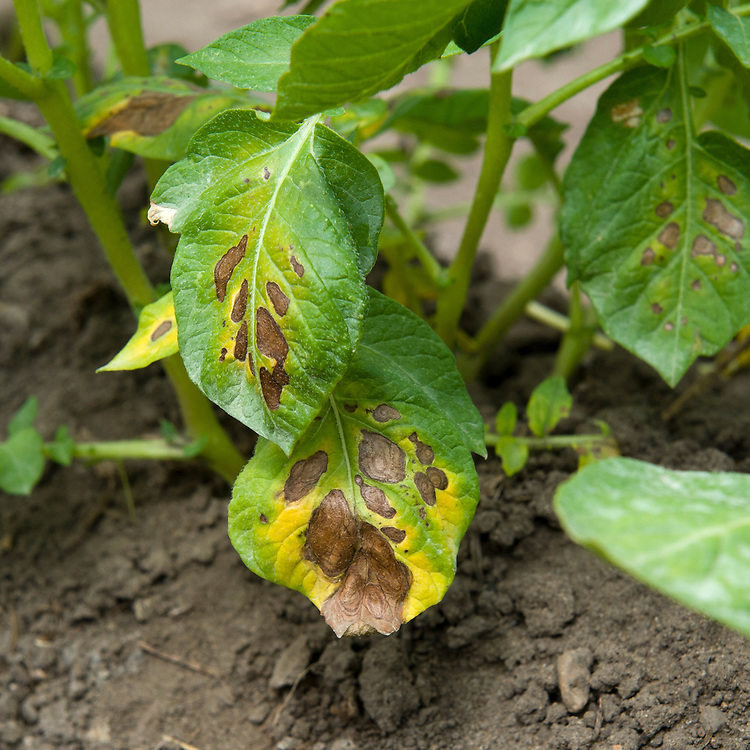 Magnesium deficiency in potatoes reduces the production of green chlorophyll. Leaves turn yellow between the veins and around the edges. The yellow areas may then turn red, purple, or brown.
