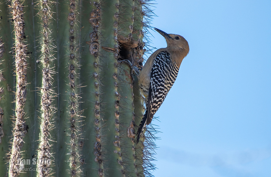 Gila Woodpecker, Melanerpes uropygialis, perches at its nest cavity in a Saguaro cactus, Carnegiea gigantea, in the Riparian Preserve at Water Ranch, Gilbert, Arizona