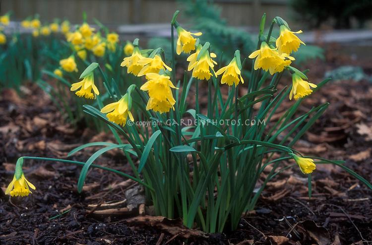 Daffodil Narcissus Cedric Morris spring flowering bulbs