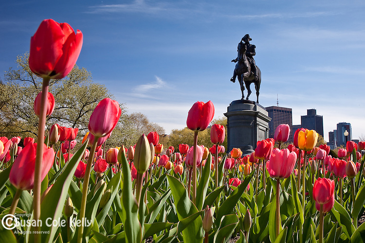Tulips in full bloom in the Boston Public Garden, Boston, MA, USA