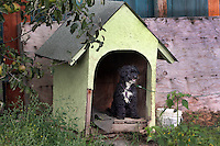 2301 Moody St., Mt. Vernon, WA. Raymond(?) Silva and his daughter Cassandra Silva.  Two dogs are continually chained in their backyard, Tyson is a 13 year old lab/pitbull mix and Bison, a 6 year old poodle.  Silva does not believe in having dogs inside.   He had bought the poodle for his daughter and said it could be an inside dog but after a week the puppy still had not been housetrained so he banned it to the outside.  The lab/pitbull mix was bought for his son years ago who is now 27 and has moved out of the house.  Silva will relinquish the lab/pitbull mix to Dogs Deserve Better rep kelly Page but wants to keep the poodle possibly to breed. (all photos copyright Karen Ducey 2010)