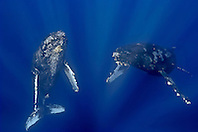a curious pair of humpback whales, Megaptera novaeangliae, Hawaii, Pacific Ocean