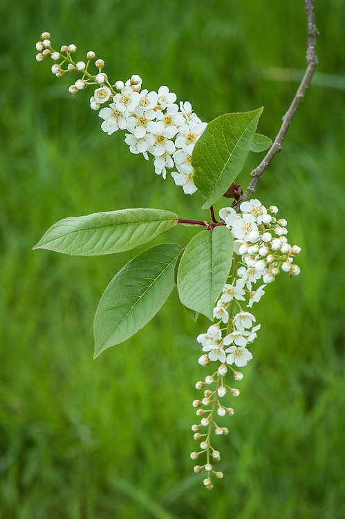Prunus padus 'Watereri', early May. An ornamental form of the Bird cherry tree, with long strings of scented white flowers. Bigger and slightly neater than its parent.