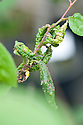 Curled, distorted leaves on a plumcot tree infested with leaf-curling plum aphid (Brachycaudus helichrysi), early May.