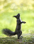"""A squirrel looks up in wonder as it stretches up to reach a bubble.<br /> <br /> The effect was created by Ukranian photographer Sergey Polyushko, 36, who spend over five hours in woods in Skhidnytsya, Ukraine photographing the squirrels.<br /> <br /> Sergey said, """"The squirrels are tame in this forest.  We had a bag of nuts and they reached for one while my friend blew bubbles.""""<br /> <br /> Please byline: Sergey Polyushko/Solent News<br /> <br /> © Sergey Polyushko/Solent News & Photo Agency<br /> UK +44 (0) 2380 458800"""