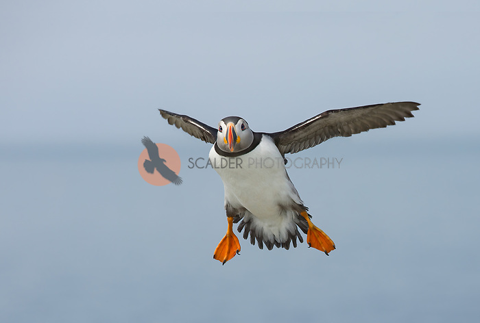 Atlantic Puffin in breeding colors, in flight with feet down  preparing for landing against cloudy sky