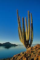 Cardon Cactus on shore of the Sea of Cortez, Guardian Angel Island, Baja California, Mexico, AGPix_0005..