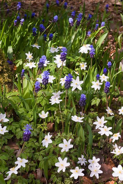 Anemone nemorosa and Muscari latifolium (grape hyacinths) in spring flower combination, spring flowering bulbs perennials