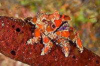 Cryptic Teardrop Crab<br /> Pelia mutica<br /> Devils Table<br /> Grenadines