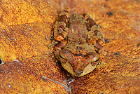 Asian Tree Frog, Danum Valley Conservation Area, Sabah, Borneo, Malaysia, Asia