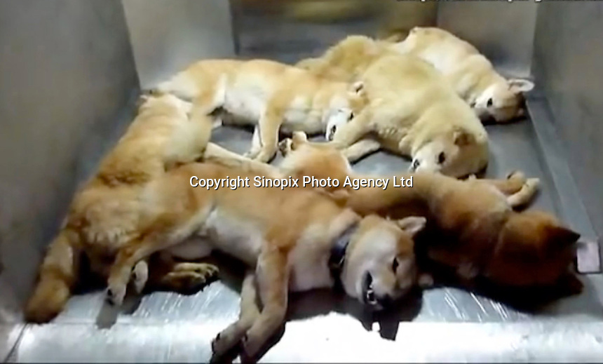 """Dead dogs in a """"dreambox"""" in a hokenjo or animal collection and health center.  Japan kills over 200,000 cats and dogs annually by gassing them with carbon dioxide...photo by  / Sinopix............"""