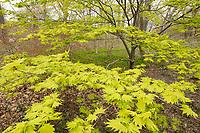 maple tree, spring at Arnold Arboretum, Boston, MA