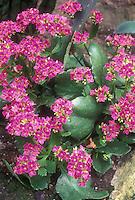 Bergenia crassifolia in bloom in spring