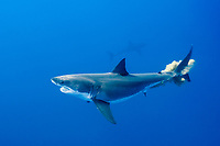 great white shark, Carcharodon carcharias, excreting, Guadalupe Island, Mexico, Pacific Ocean