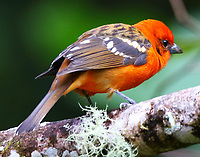 Male flame-colored tanager