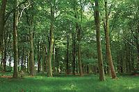 Beech Trees, Binning Memorial Wood, Tyninghame, East Lothian