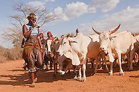 bull collecting by sining Hamer girls during the bull jumping ceremony in Omo valley Ethiopia