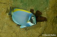 0516-1002  Powder Blue Surgeon Fish (Powder Blue Tang), Acanthurus leucosternon  © David Kuhn/Dwight Kuhn Photography