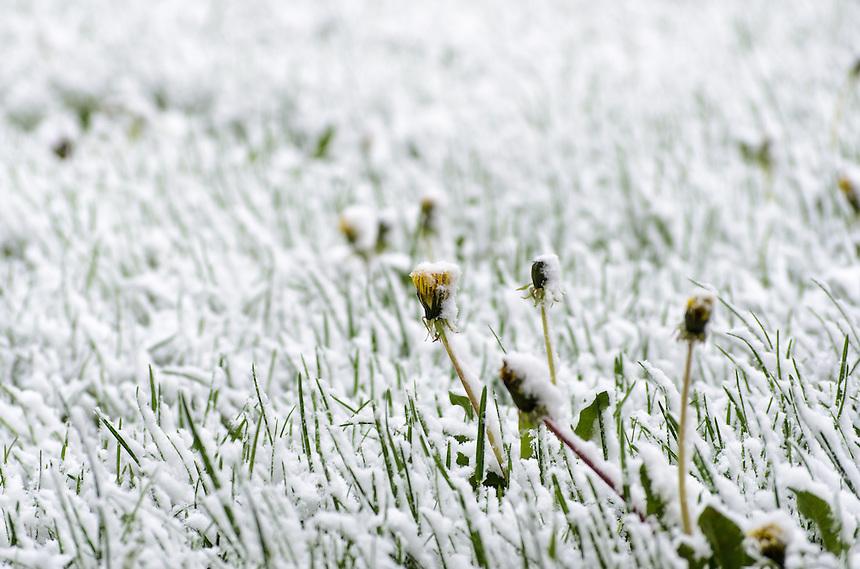 A mid-May snowfall coating closed dandelions in Michigan's Upper Peninsula.