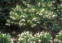 Helleborus hybridus Hadspen Star + Primula Alba Plena, white colour theme garden combination