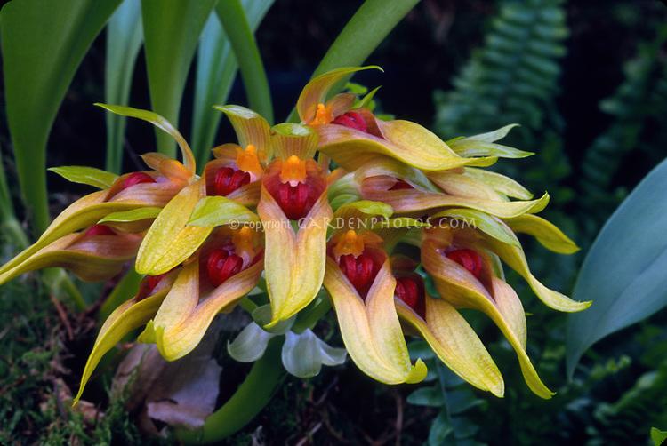Bulbophyllum graveolens, orchid species