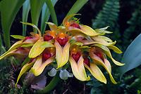 Orchids Bulbophyllum Cirrhopetalum