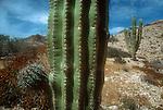 Mexico, Cardon cactus, Baja, Baja Sur, Gulfo de California, Gulf of California, Mexico, North America,.
