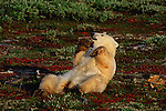 A polar bear plays with a piece of wood on the tundra at Wapusk National Park, Manitoba, Canada.