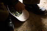 A miner helps himself to handfuls of coca leaves.  Miners in Potosí chew coca almost continuously in order to stave off the effects of hunger, exhaustion and altitude.