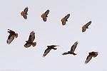 Dark Morph Red-tailed Hawk, Flight Study, Bosque del Apache Wildlife Refuge, New Mexico