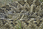 Western Diamondback Rattlesnake, found in south Texas