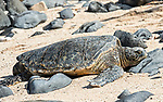 A green sea turtle (honu, in Hawaiian) sunning itself on Ho'okipa Beach on the north shore of Maui