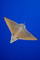 spotted eagle ray, Aetobatus narinari, Kona Coast, Big Island, Hawaii, USA, Pacific Ocean