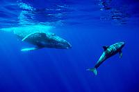 humpback whale, Megaptera novaeangliae, and pygmy killer whale, Feresa attenuata, Hawaii, Pacific Ocean