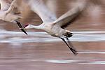 Sandhill Crane (Grus canadensis) taking flight, Bosque del Apache National Wildlife Refuge, New Mexico