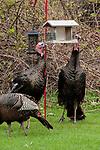 2 Male, or Tom Eastern wild turkeys eat seed from a bird feeder in an urban backyard, vertical.
