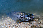 Landlock Atlantic Salmon  female laying on sand bottom in Lake Sunapee,  New Hampshire