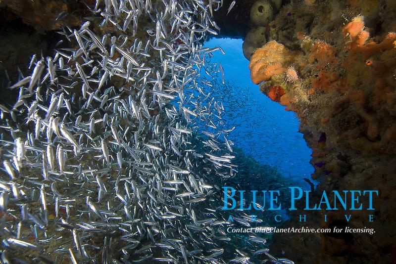 Silverside fish in reef cave, Bahamas, Caribbean, Atlantic