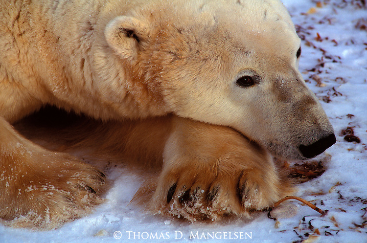 A polar bear rests its head on its paw in Canada.