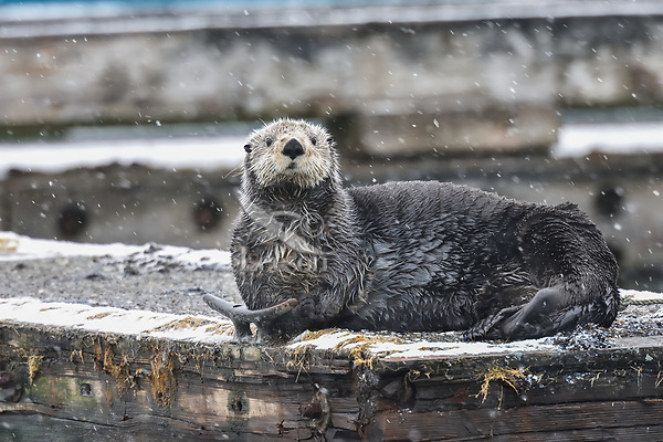 Sea Otter (Enhydra lutris) resting on boat dock during snowstorm, Prince William Sound, Alaska.  Spring.