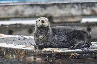 Sea Otter (Enhydra lutris) resting on boat dock during snowstorm, Prince William Sound, Alaska.  Spring.