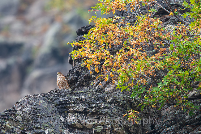 Sharp-shinned Hawk (Accipiter striatus). Crater Lake National Park, Oregon. September.