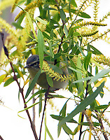 Tennessee warbler in breeding plumage