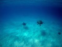 Green Sea Turtles, Cocos Keeling Islands, Indian Ocean