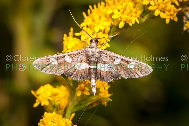 A Crambid Snout Moth (Desmia sp.), either D. funeralis or D. maculalis, perches on a Goldenrod plant.